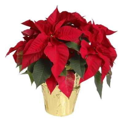 Holiday Service Poinsettias